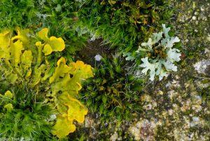 Op zoek naar mooie combinaties. Hier muisjesmos, vingermos en groot dooiermos op een tuinmuur.  - Fotograaf: Ron Poot