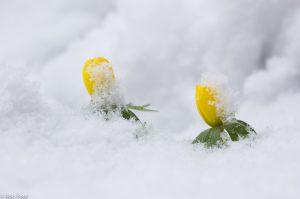 Bij een flinke sneeuwbui gaan de kleine bloempjes kopje onder. - Fotograaf: Ron Poot