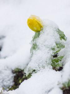 Winterakoniet - Fotograaf: Ron Poot