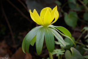 Van opzij zie je goed de kraag van groene blaadjes onder de bloem. - Fotograaf: Ron Poot