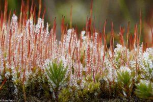 Purpersteeltje on ice. Al in de winter verschijnen de jonge sporenkapsels. Hier tussen het haarmos.  - Fotograaf: Ron Poot