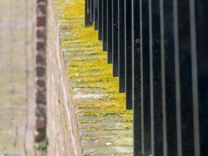 Geen muurtje ontkomt er aan om begroeid te raken met dit mos.  - Fotograaf: Ron Poot