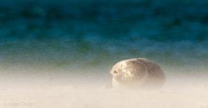 Zeehond in het stuivende zand van het strand, vanaf zeer laag standpunt. - Fotograaf: Arjen Drost
