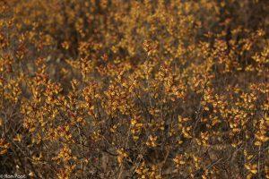 De massale bloei van een mannelijk struikje. - Fotograaf: Ron Poot