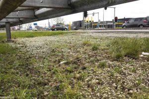 Massaal bevolkt Deens lepelblad de bermen van de wegen.  - Fotograaf: Ron Poot
