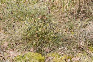 In maart begint de bloei al, onopvallend in het nog grauwe veen. - Fotograaf: Ron Poot