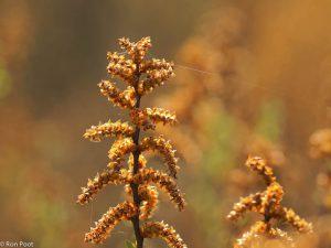 Bloeiende mannelijke katjes van wilde gagel bij tegenlicht. - Fotograaf: Ron Poot