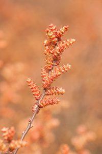 Een enkel takje, met de kleur van de andere bloeiende struiken op de achtergrond. - Fotograaf: Ron Poot