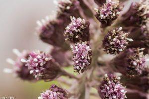 De mannelijke bloemen van groot hoefblad zijn roze en stervormig.  - Fotograaf: Ron Poot