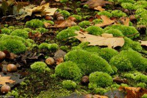 Zo groeit kussentjesmos op de bosbodem. - Fotograaf: Ron Poot