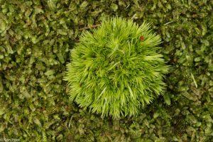 Van boven bekeken, een bolletje mos op een bed van buidelmos.  - Fotograaf: Ron Poot