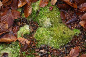Kussentjesmos, groeiend op zure bosbodem. - Fotograaf: Ron Poot