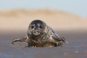Als je plat op je buik ligt ben je minder bedreigend voor zeehonden en komen ze, zoals deze grijze zeehond, soms zelfs nieuwsgierig op je af kruipen.  - Fotograaf: Arie Ouwerkerk