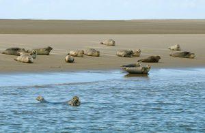 Tijdens speciale zeehondentochten kom je niet dichtbij genoeg voor close-ups ,maar kun je wel groepen zeehonden op zandbanken fotograferen. - Fotograaf: Wil Meinderts