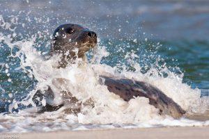 Gewone zeehond in de branding van in een baai op Düne bij Helgoland. - Fotograaf: Ron Poot