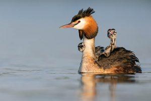 Volwassen fuut met twee jongen op de rug. - Fotograaf: David Pattyn