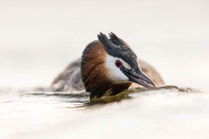 Een fuut in dreighouding houdt zijn kop laag boven het water.  - Fotograaf: David Pattyn