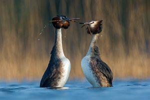 Dit paartje presenteert elkaar waterplanten tijdens hun balts.   - Fotograaf: David Pattyn
