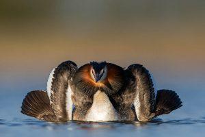 De fuut spreidt zijn vleugels en houdt zijn borst omhoog om zijn tegenstander te imponeren in de strijd.  - Fotograaf: David Pattyn