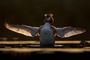 Een fuut spreidt zijn vleugels, bij tegenlicht.  - Fotograaf: David Pattyn