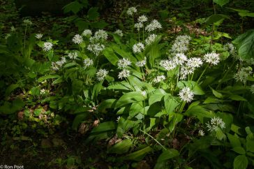Allium ursinum, Daslook,