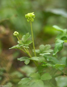 Muskuskruid in bloei in het vroege voorjaar. Een registratiefoto. - Fotograaf: Ron Poot