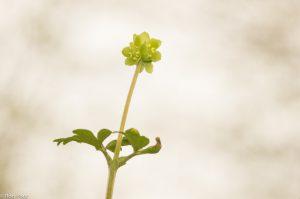 Een lichte achtergrond doet de plant goed uitspringen. - Fotograaf: Ron Poot