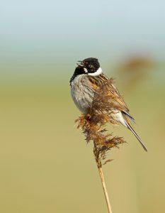 Je vindt het mannetje vaak op een hoge uitkijkpost zoals een rietpluim. - Fotograaf: Daan Schoonhoven