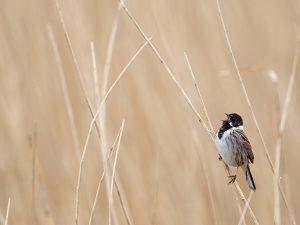 Het mannetje in zijn natuurlijke omgeving, het rietland. - Fotograaf: Daan Schoonhoven