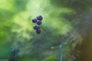 In het najaar vind je de decoratieve bessen van dalkruid.  - Fotograaf: Ron Poot