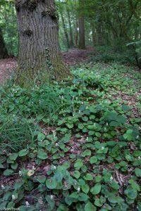 De natuurlijke omgeving van dalkruid, in het bos.  - Fotograaf: Ron Poot