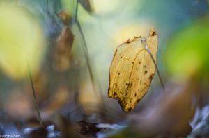 In het herfstbos dragen de vergelende bladeren van dalkruid bij aan de sfeer. - Fotograaf: Ron Poot