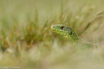 Zandhagedis; Sand Lizard; lacerta agilis
