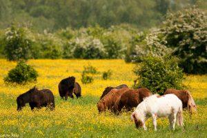 Halfwilde paarden in natuurgebied Duursche waarden, grazend tussen de boterbloemen. - Fotograaf: Ron Poot