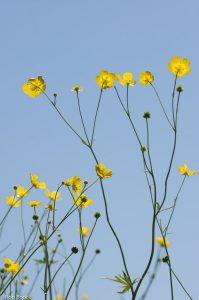 Scherpe boterbloem is een hoge rechtopstaande plant en leent zich goed om van onderen te fotograferen.  - Fotograaf: Ron Poot