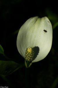 Een insect zoekt een plekje op het schutblad, in de zon. - Fotograaf: Ron Poot