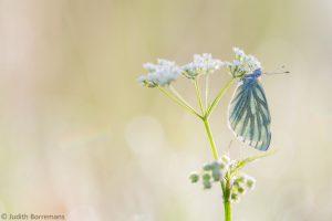 Een 'klassieke' vlinderfoto blijf heerlijk om naar te kijken. - Fotograaf: Judith Borremans
