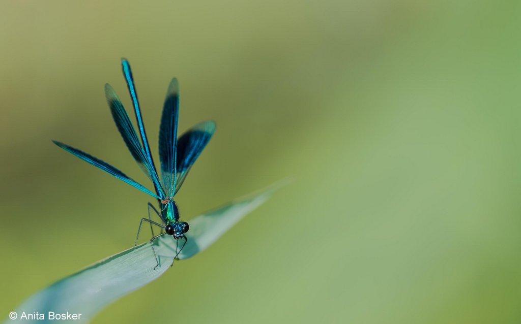 weidebeekjuffer Calopteryx splendens