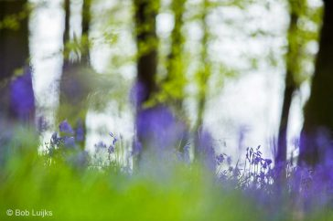 Bob_Luijks-hyacint