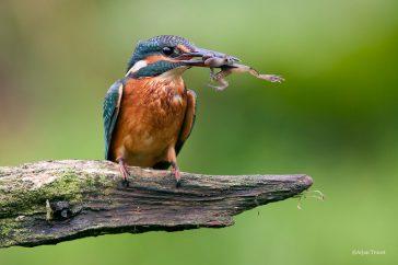 IJsvogel; Kingfisher; Alcedo atthis