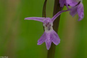 Rietorchis is best variabel, hier een bloem met maar weinig tekening.  - Fotograaf: Ron Poot