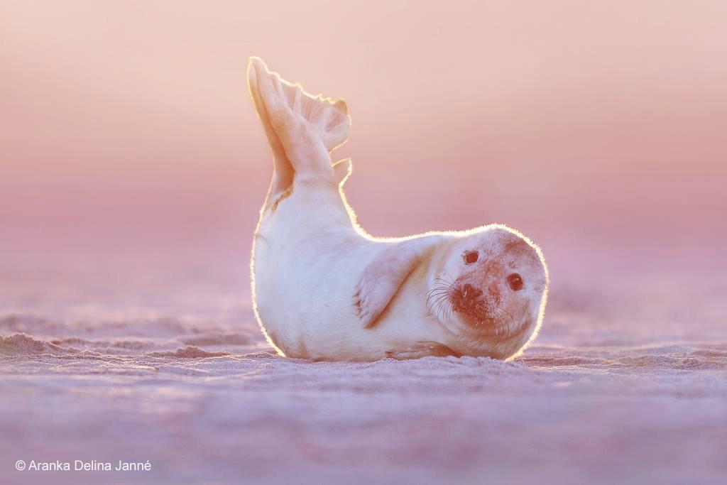 Jonge grijze zeehond (Halichoerus grypus)