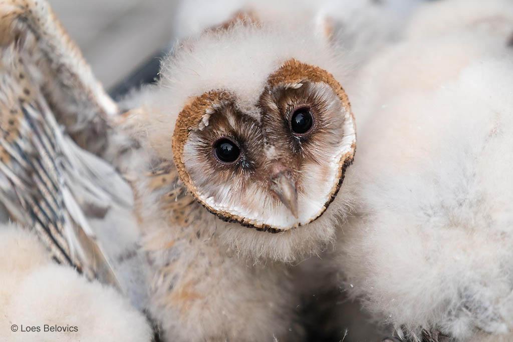 Kerkuil baby (Tyto alba)