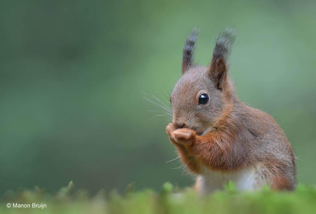 Jonge eekhoorn (Sciurus vulgaris)