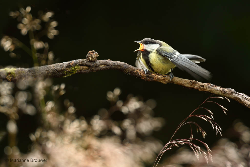 Jonge koolmees (Parus major)