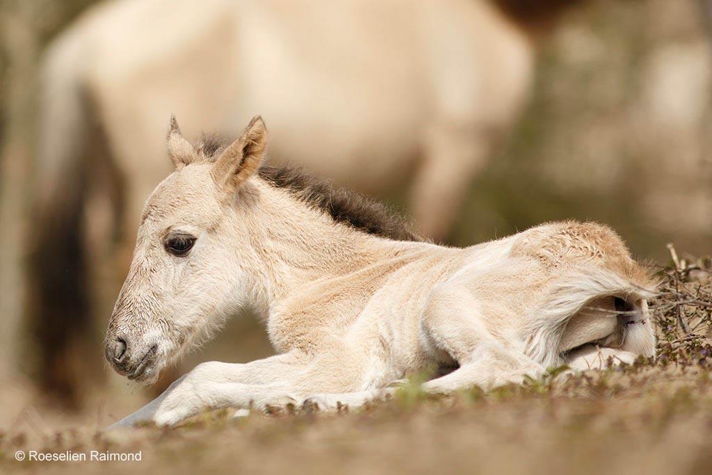 Pasgeboren Konik veulen (Equus caballus)