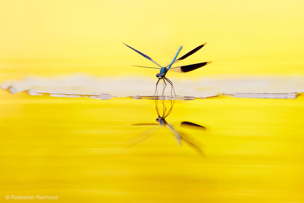 weidebeekjuffer Calopteryx splendens met reflectie