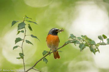 Gekraagde Roodstaart; Common Redstart; Phoenicurus Phoenicurus