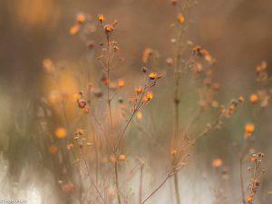 In de winter zijn de oranje vruchtjes van wederik een leuk object.  - Fotograaf: Ron Poot
