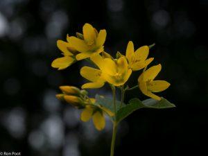 Een bloemtrosje tegen een bosrijke achtergrond, waar het licht door de bladeren speelt.  - Fotograaf: Ron Poot